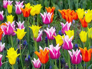 fotografias tulipanes
