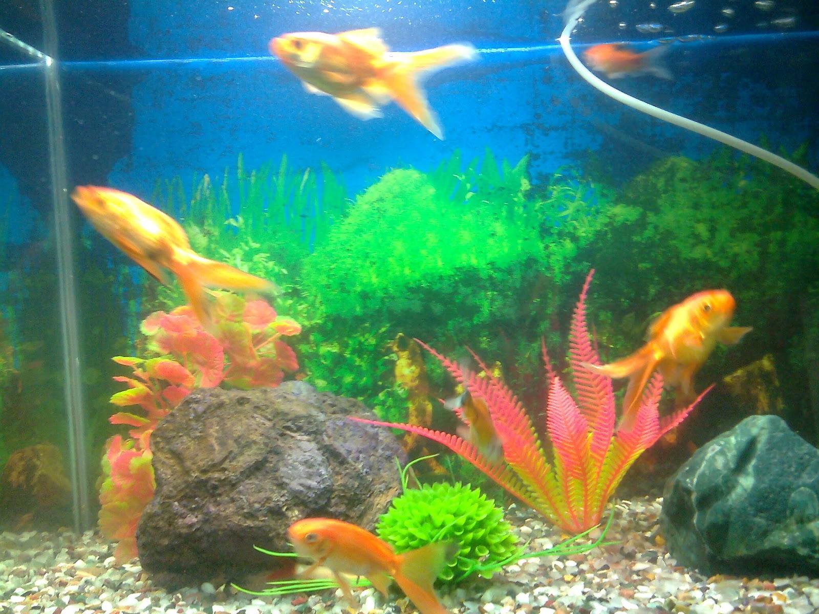 Pet Shop Ahmedabad :: gold fish aquarium