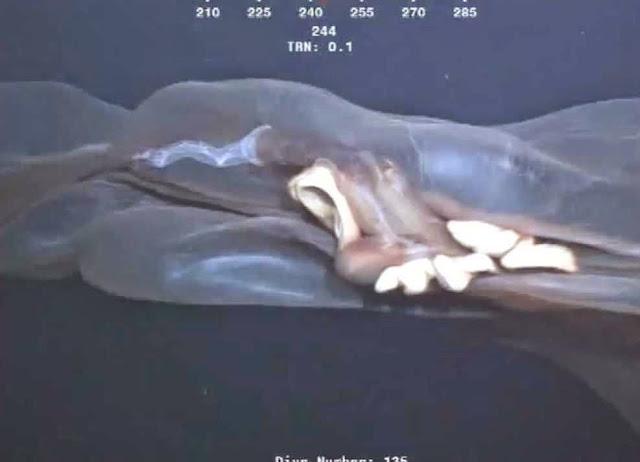 gambar hewan laut raksasa misterius