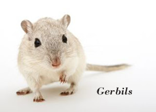 Gerbils are very social animals