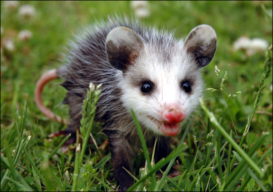For The Past Four Nights, A Baby Opossum Has Been Showing Up By Our Sliding  Glass Door To The Back Yard. We First Noticed Him When Our Cat Was Staring  ...
