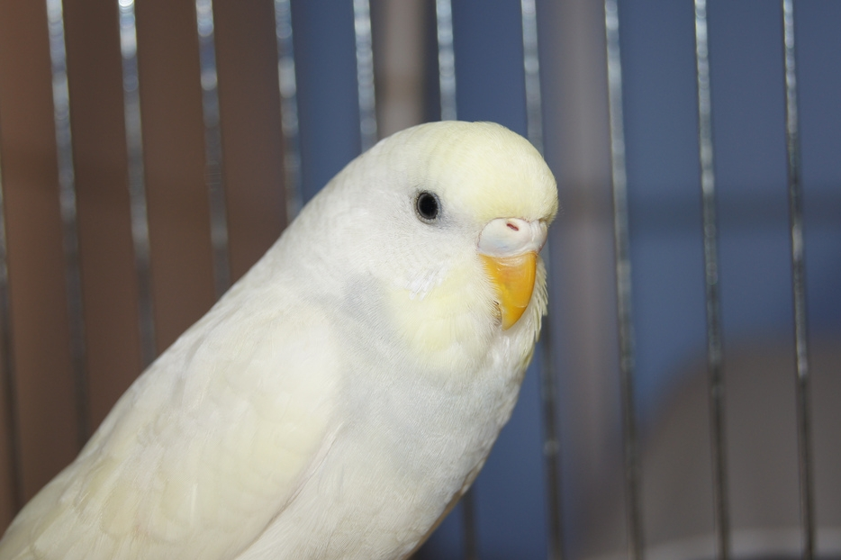 Burung Parkit Cantik