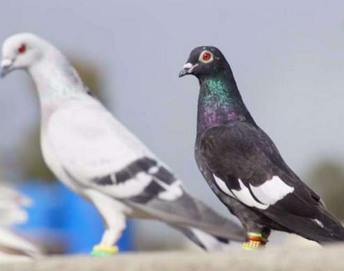 शांत पक्षी कबूतर