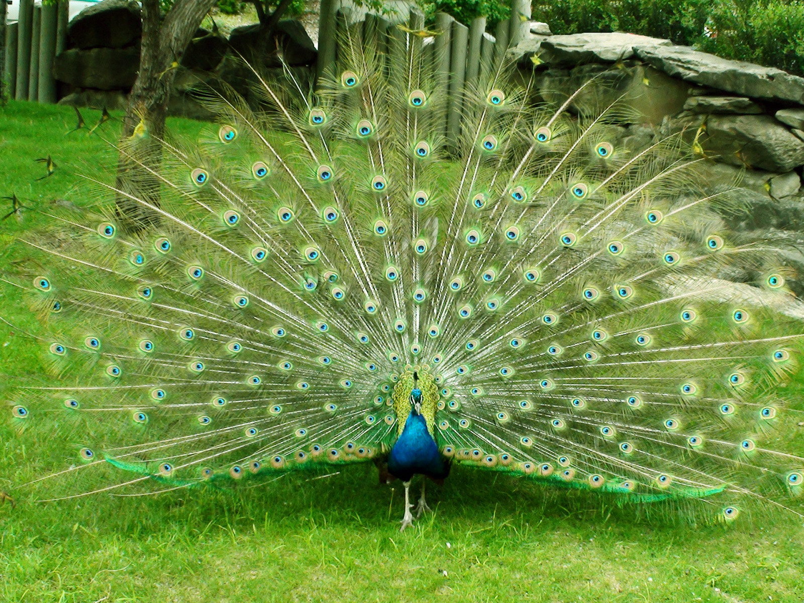 http://4.bp.blogspot.com/-rmzkyiEj2iI/UVMocanmnQI/AAAAAAAAMic/OhJHw7Q3lmg/s1600/beautiful+peacockwallpapers+hd.jpg