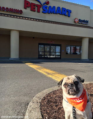 Liam the pug waits at PetSmart