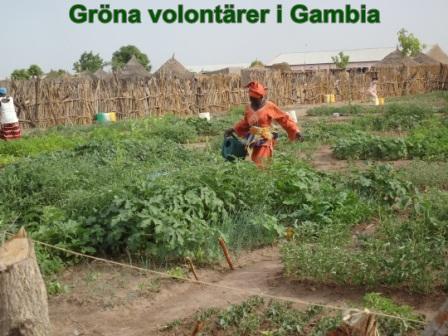 Gröna volontärer i Gambia