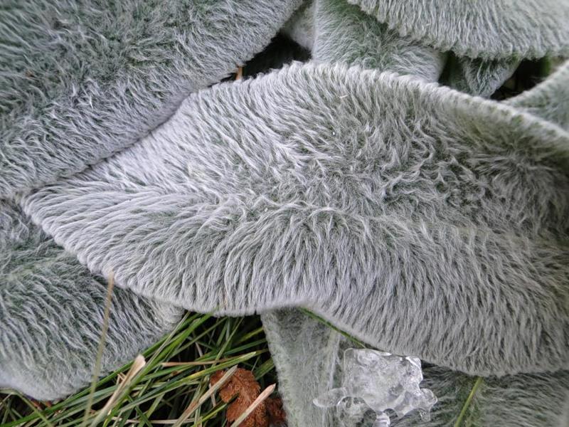 Листья стахиса шерстистого