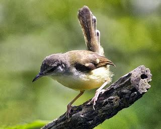 Tips Burung Ciblek Cepat Gacor