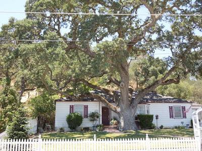 Oak Tree Wider than House, ©B. Radisavljevic
