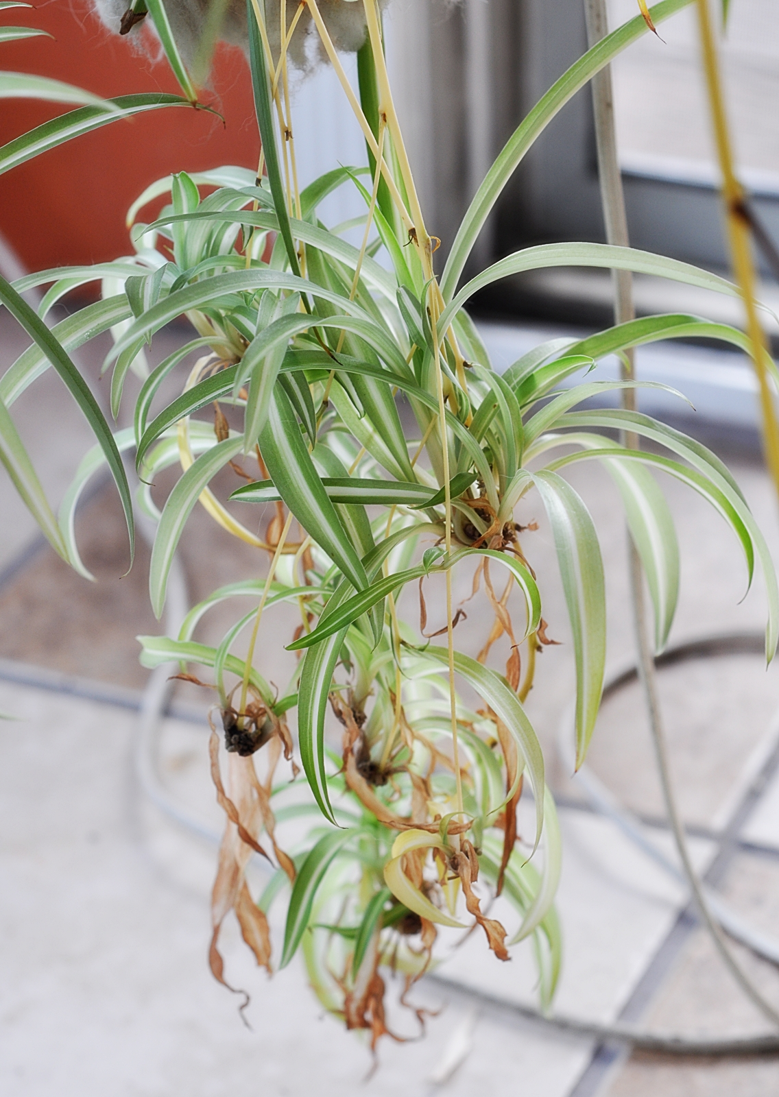 how to cut spider plant babies