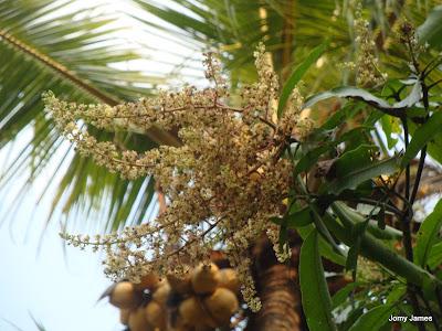 Mango inflorescence
