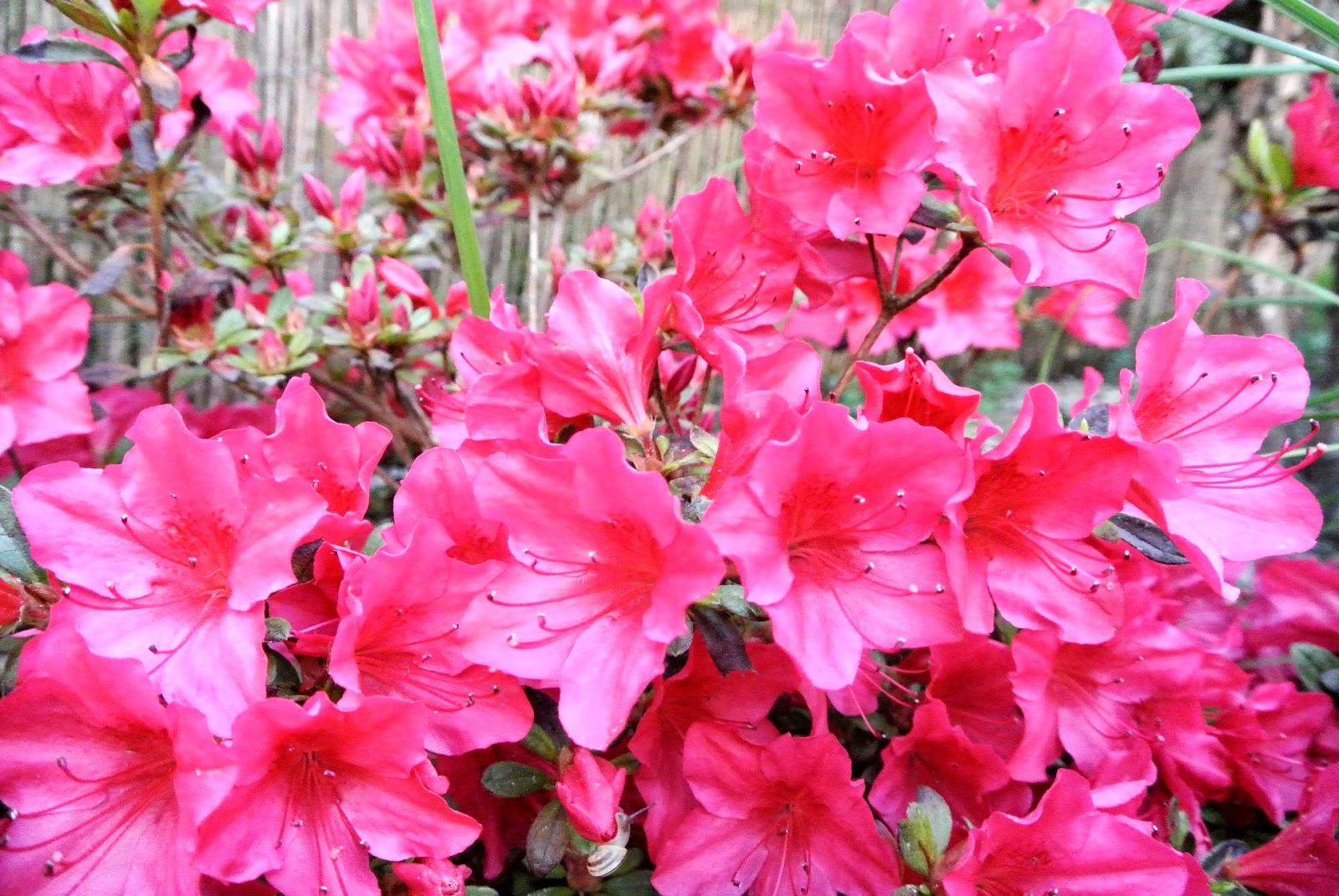 czerwona azalia,czerwony rodedendron,czerwony kwiaty,kwity w ogródku,jakie kwiaty do ogrodu