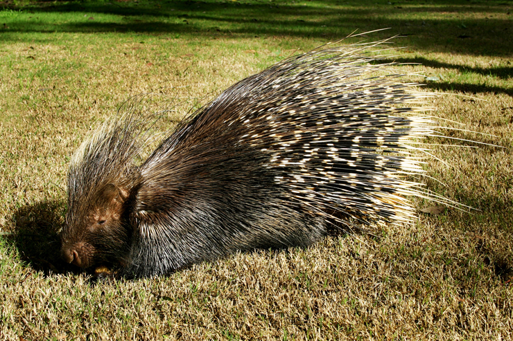 WE ARE IN FOREST: PORCUPINES