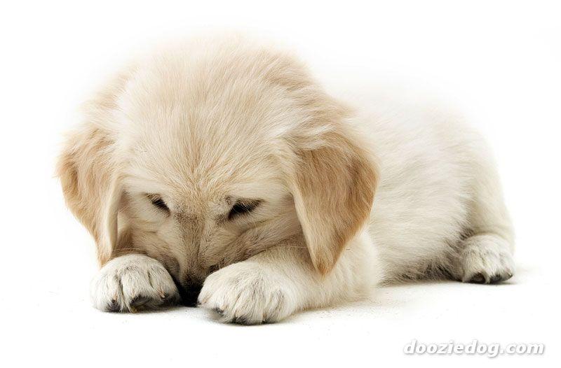 cuteu0026ampcool pets 4u golden retriever puppy pictures golden retriever puppies 800x526