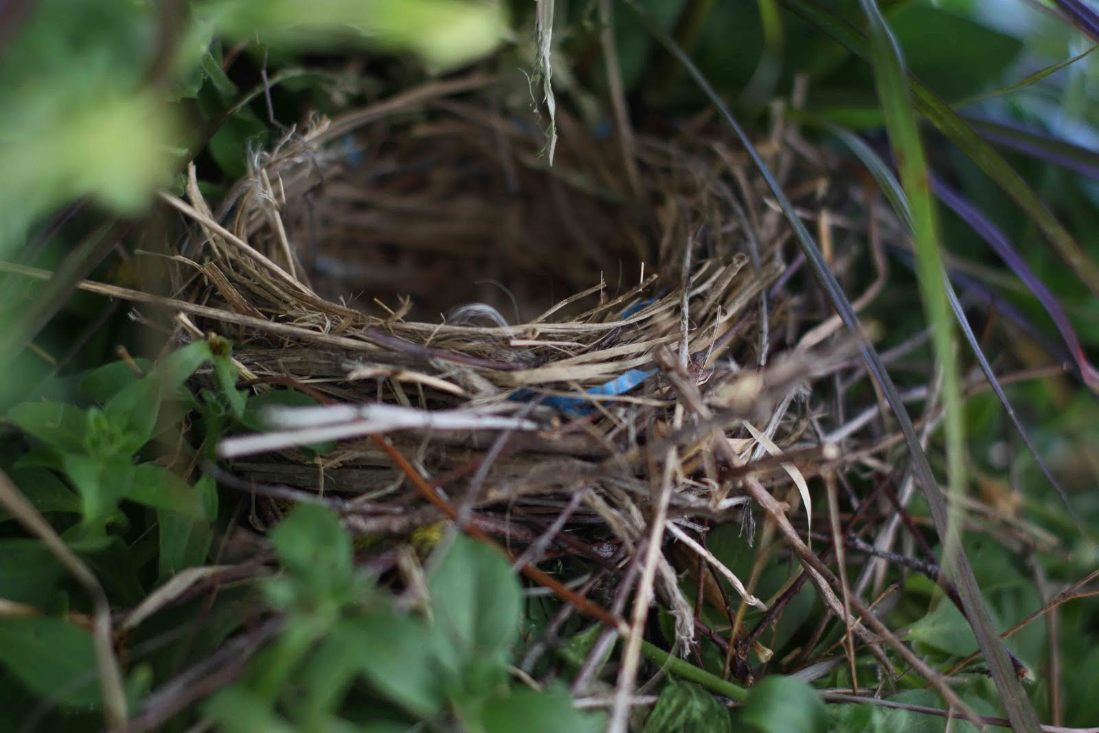 Purple Finch Nest FAMILY FROM AFAR: A Pu...