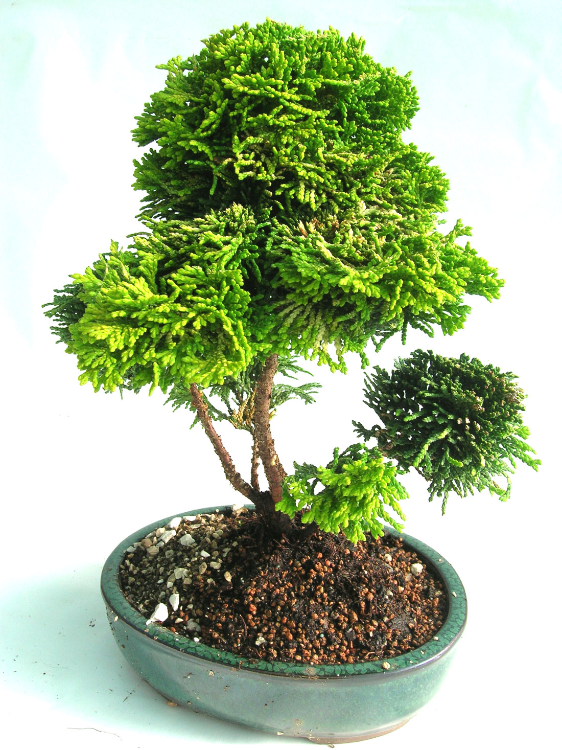 Outdoor Bonsai Trees Home Garden And Landscaping