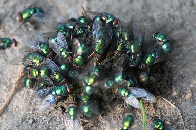flies swarming feces