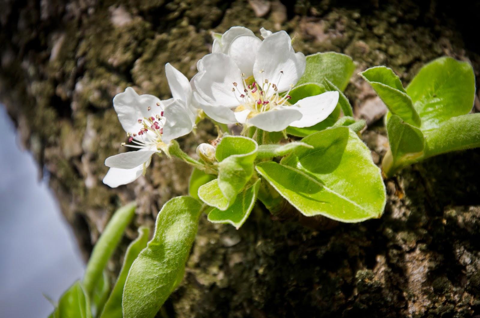 Apfelblüte auf dem werthland Hof