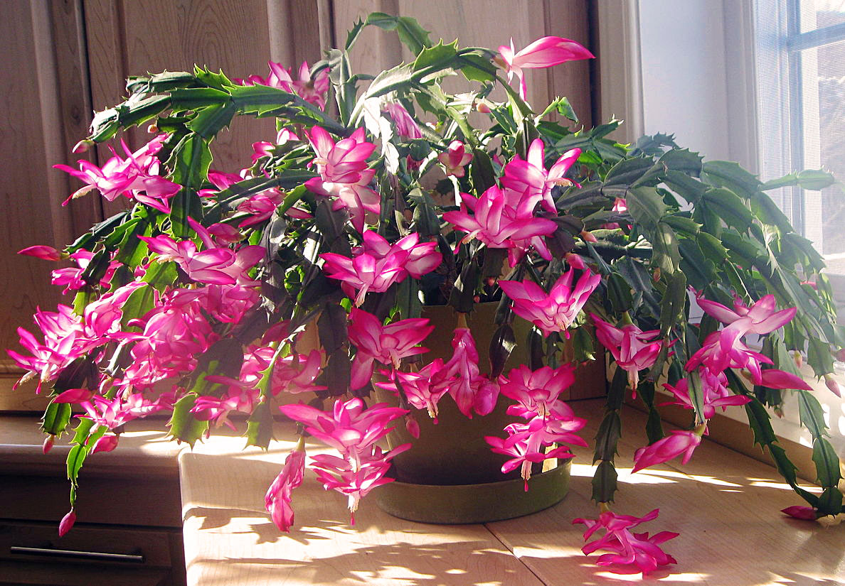 Thanksgiving Cactus (Zygo)