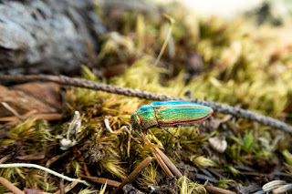 Golden Buprestid beetle
