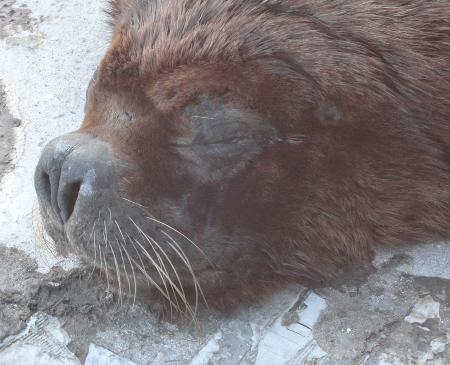 Travesías de lobos marinos: Cómo, cuándo y donde respira un lobo marino?