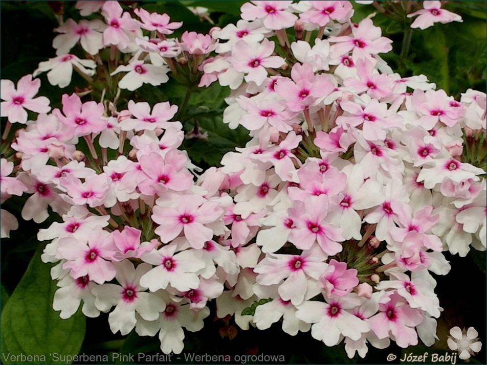 Verbena 'Superbena Pink Parfait' - Werbena ogrodowa 'Superbena Pink Parfait'