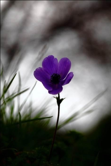 Anemonia.7