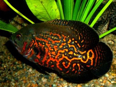 Oscar Fish Population And Maintenance Planetanimalzone