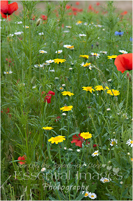 wild flowers in woodside lymington