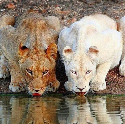 PANTERA LEO - LEONES AFRICANOS