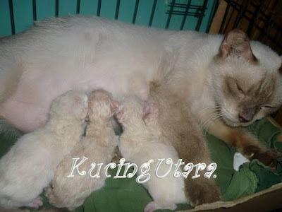 Kucing Utara Mata Biru Anak Kucing Sementara