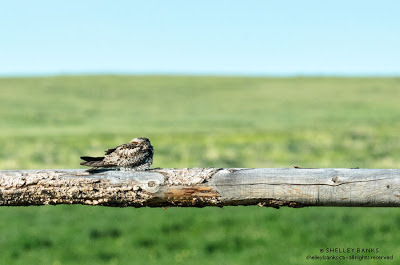 Common Nighthawk: photograph  © Shelley Banks, all rights reserved.