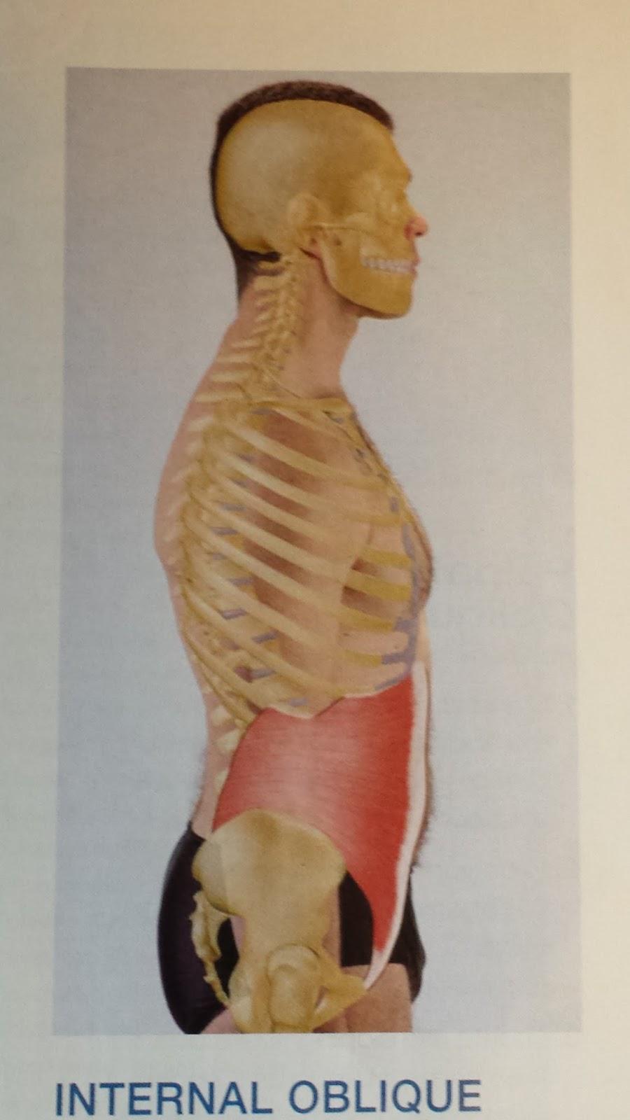 Muscle Series 4 Internal Oblique Aaduri Healing Arts