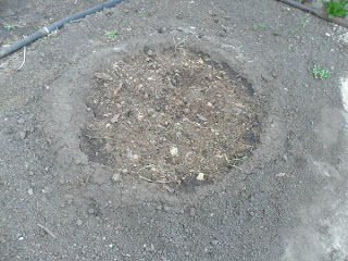 засеянная лунка арбузов