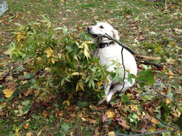 dog with tree branch on his mouth, funny animal pictures, animal photos, funny animals