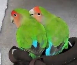 Bisnis Rumahan Ternak burng love bird