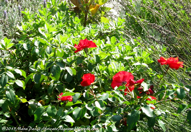 Red roses' blooming again