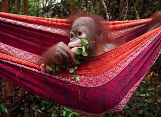 nacidos para ser libres. salvando a orangutanes y elefantes
