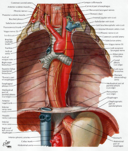 Human Medecine Aneurysm And Coarctation Of The Aorta Patent Ductus