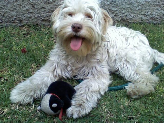 Mascotas en tu hogar razas de perros para vivir en casas o departamentos peque os - Casas para perros pequenos ...