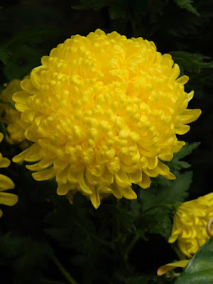Yellow incurve mum at the Allan Gardens Conservatory 2015 Chrysanthemum Show by garden muses-not another Toronto gardening blog