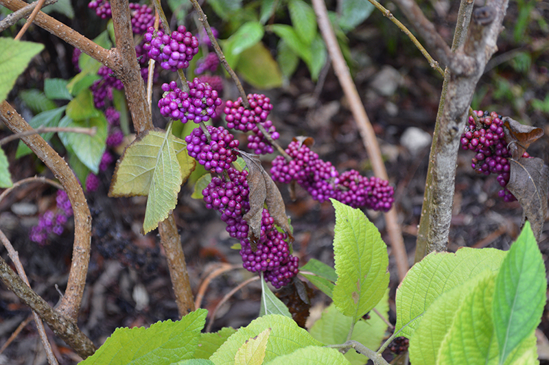 wild berry bush at bill sadowski nature center