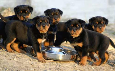 Dog Training - How To Train A Rottweiler
