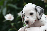 Dalmatian Puppy Pictures. Barely look for the breed, the dalmatian is alert .