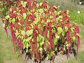 What Is Amaranth