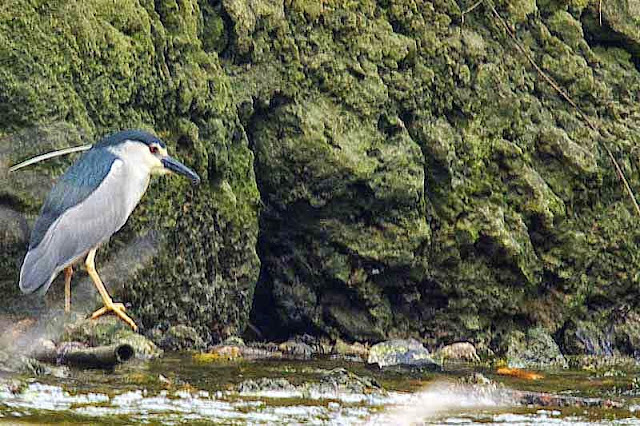 Bird, image, heron along streambed