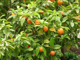 Naranjo amargo