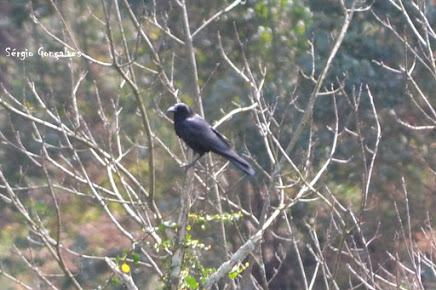 O corvo – Corvus corax