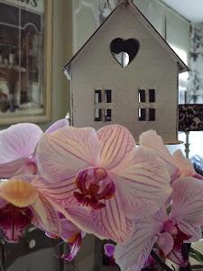Y florecen mis orquídeas...