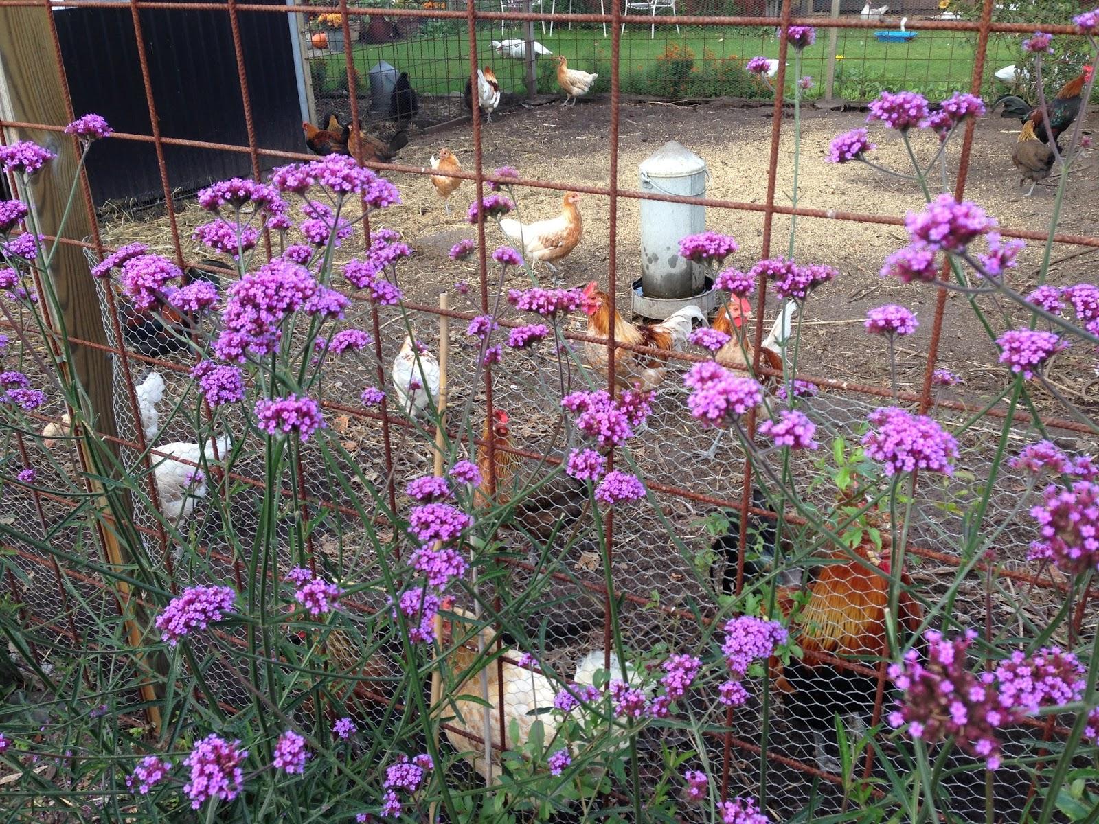 Fru pedersens have: genbrugsguld i hønsehuset.